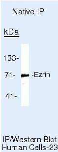 Ezrin Antibody in Immunoprecipitation (IP)