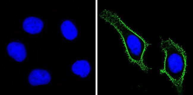 CD44 Antibody in Immunofluorescence (IF)