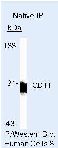 CD44 Antibody in Immunoprecipitation (IP)
