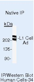 CD171 Antibody in Immunoprecipitation (IP)