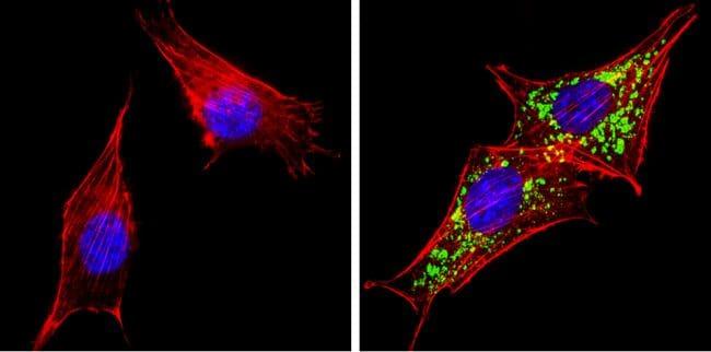 HGF Antibody in Immunofluorescence (IF)