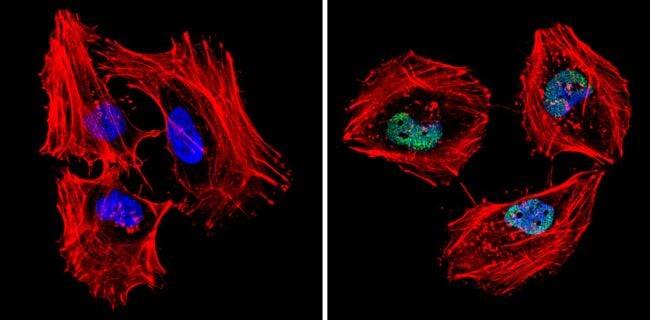 MCM7 Antibody in Immunofluorescence (IF)