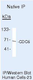 Cdc6 Antibody in Immunoprecipitation (IP)