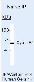 Cyclin B1 Antibody in Immunoprecipitation (IP)