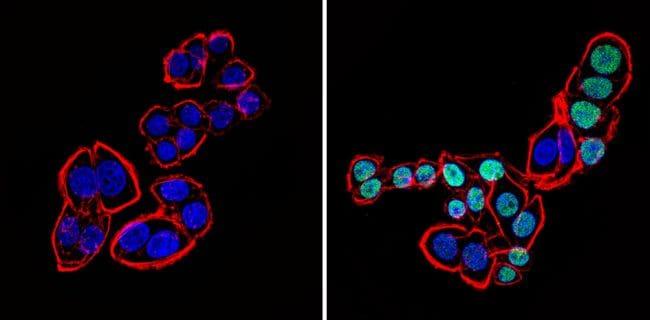 CDX2 Antibody in Immunofluorescence (IF)
