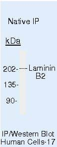 Laminin beta-2/gamma-1 Antibody in Immunoprecipitation (IP)