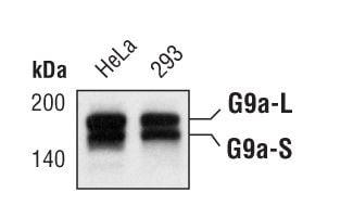 EHMT2 Antibody in Western Blot (WB)