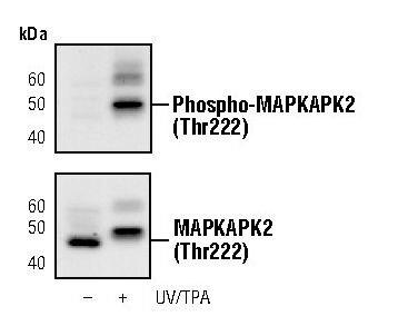 Phospho-MAPKAPK2 (Thr222) Antibody in Western Blot (WB)