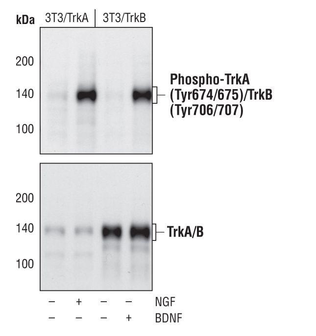 Phospho-TrkA/TrkB (Tyr674, Tyr675, Tyr706, Tyr707) Antibody in Western Blot (WB)