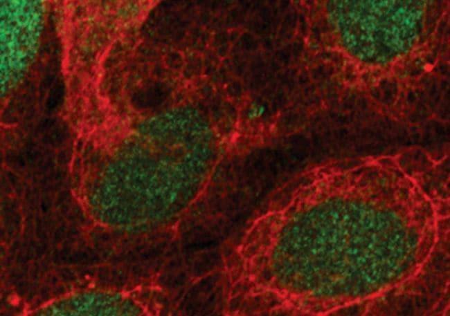 LEF1 Antibody in Immunofluorescence (IF)
