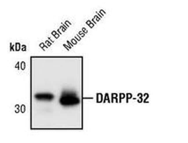 DARPP-32 Antibody in Western Blot (WB)