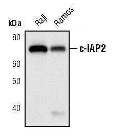 cIAP2 Antibody in Western Blot (WB)