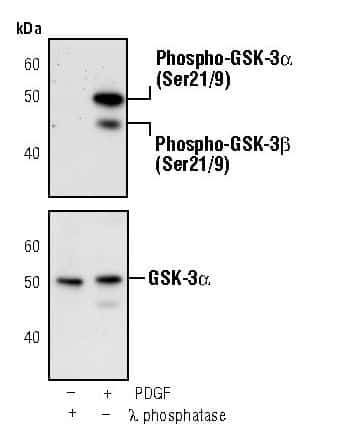 Phospho-GSK3 alpha/beta (Ser9, Ser21) Antibody in Western Blot (WB)