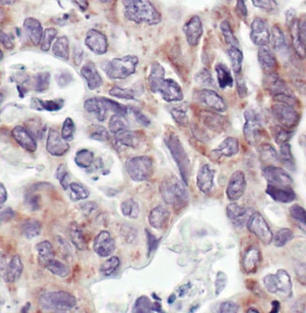 COX4 Antibody in Immunohistochemistry (IHC)