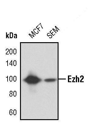 EZH2 Antibody in Western Blot (WB)