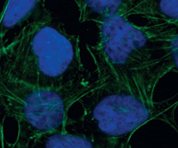 Phospho-S6 (Ser235, Ser236) Antibody in Immunofluorescence (IF)