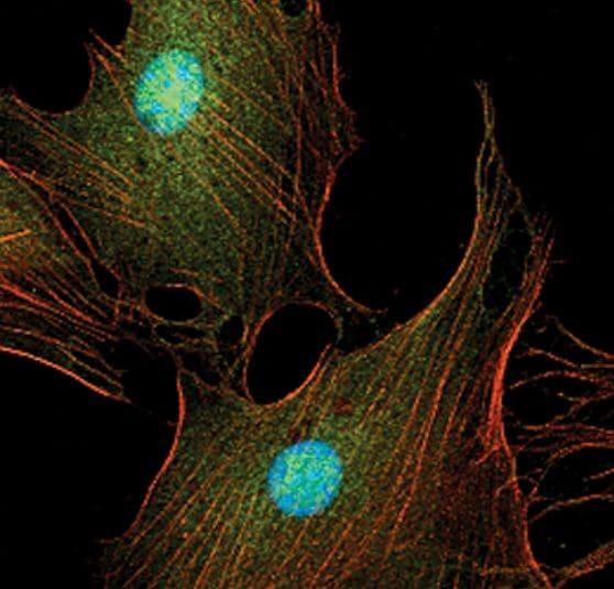 Phospho-ERK1/ERK2 (Tyr204) Antibody in Immunocytochemistry (ICC/IF)