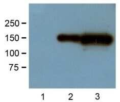 GFP Antibody in Western Blot (WB)