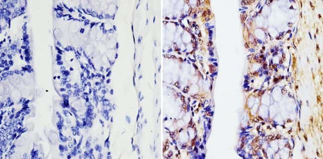 GAPDH Loading Control Antibody in Immunohistochemistry (Paraffin) (IHC (P))