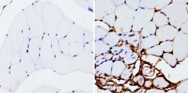 beta Actin Loading Control Antibody in Immunohistochemistry (Paraffin) (IHC (P))