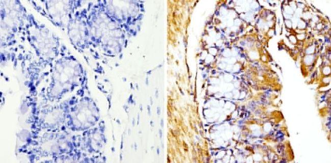 beta Tubulin Loading Control Antibody in Immunohistochemistry (Paraffin) (IHC (P))