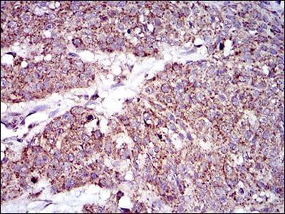 MRPL42 Antibody in Immunohistochemistry (Paraffin) (IHC (P))