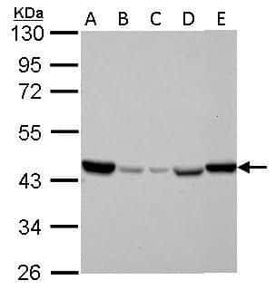 IDH2 Antibody in Western Blot (WB)