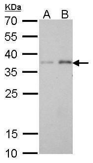 PEX19 Antibody in Western Blot (WB)