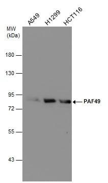PAF49 Antibody in Western Blot (WB)