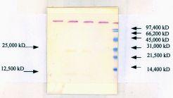 TGF beta-1 Antibody in Western Blot (WB)
