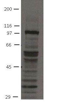 FGFR4 Antibody in Western Blot (WB)