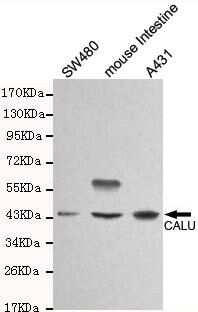 Calumenin Antibody in Western Blot (WB)