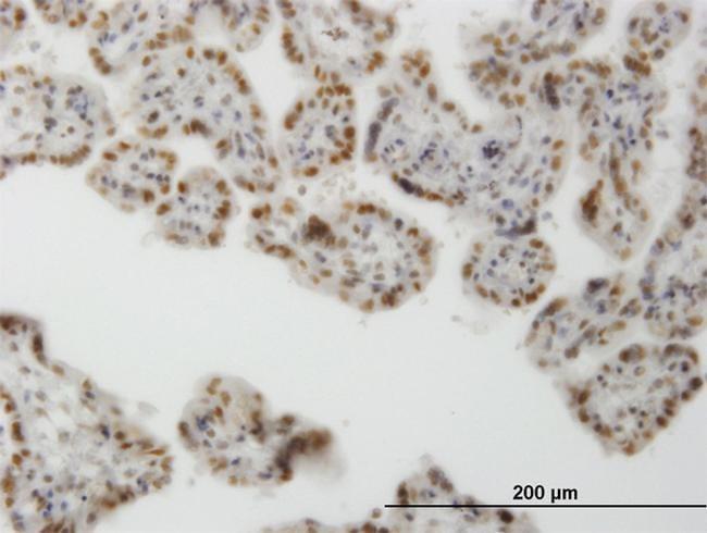 CLK3 Antibody in Immunohistochemistry (PFA fixed) (IHC (PFA))