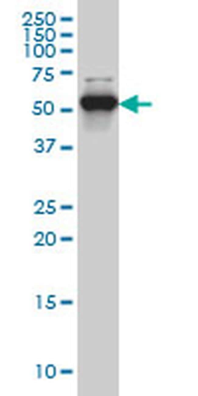 CLK3 Antibody in Western Blot (WB)