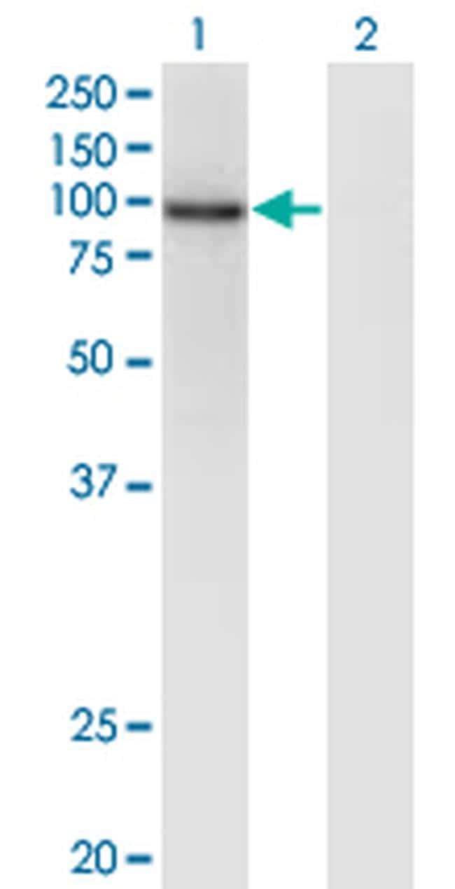 ZNF41 Antibody in Western Blot (WB)