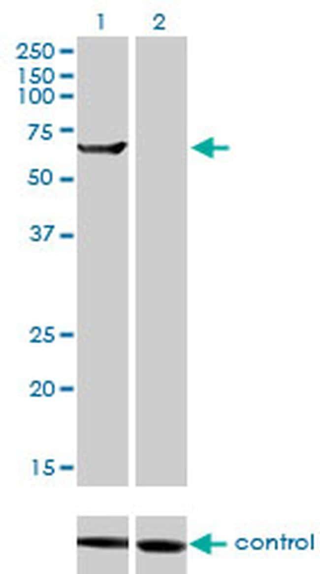 TRIM16 Antibody in Western Blot (WB)