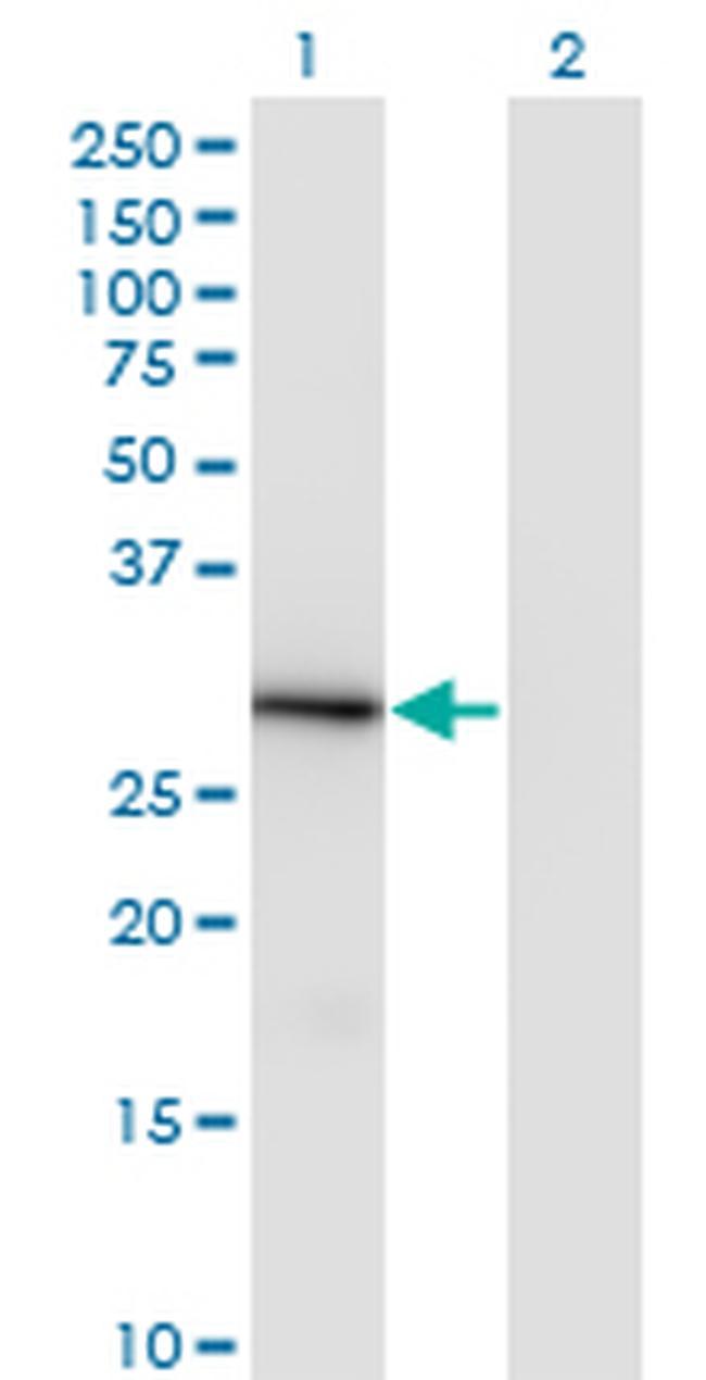 LFG Antibody in Western Blot (WB)
