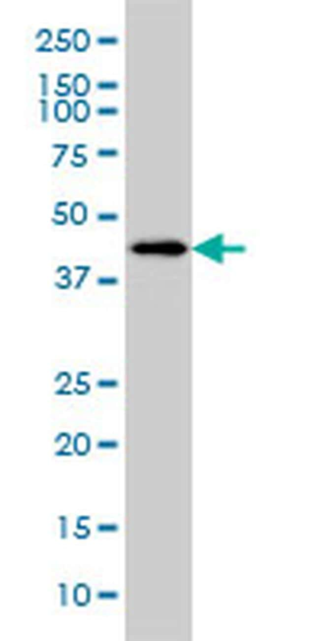 HSFX1 Antibody in Western Blot (WB)