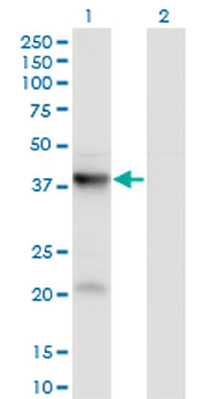 PANK3 Antibody in Western Blot (WB)