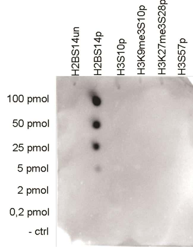 Phospho-Histone H2B (Ser14) Antibody in Peptide array (ARRAY)