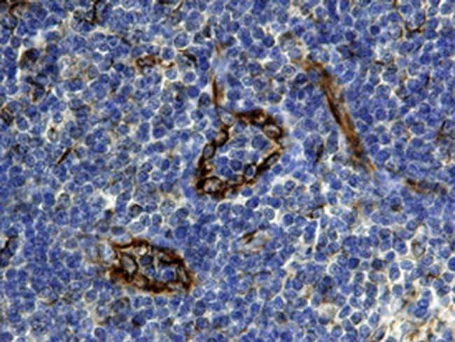 CXCL12 Antibody in Immunohistochemistry (Paraffin) (IHC (P))