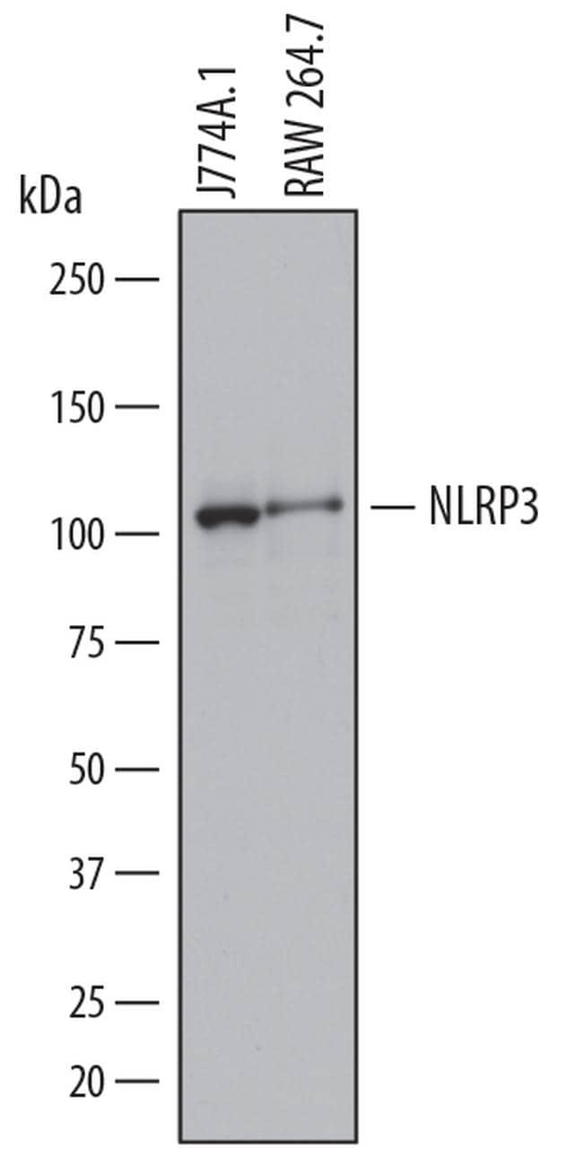 NLRP3 Antibody in Western Blot (WB)