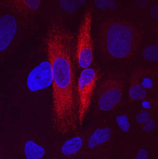 FAM3C Antibody in Immunocytochemistry (ICC)