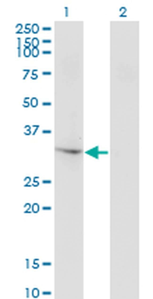THG1L Antibody in Western Blot (WB)