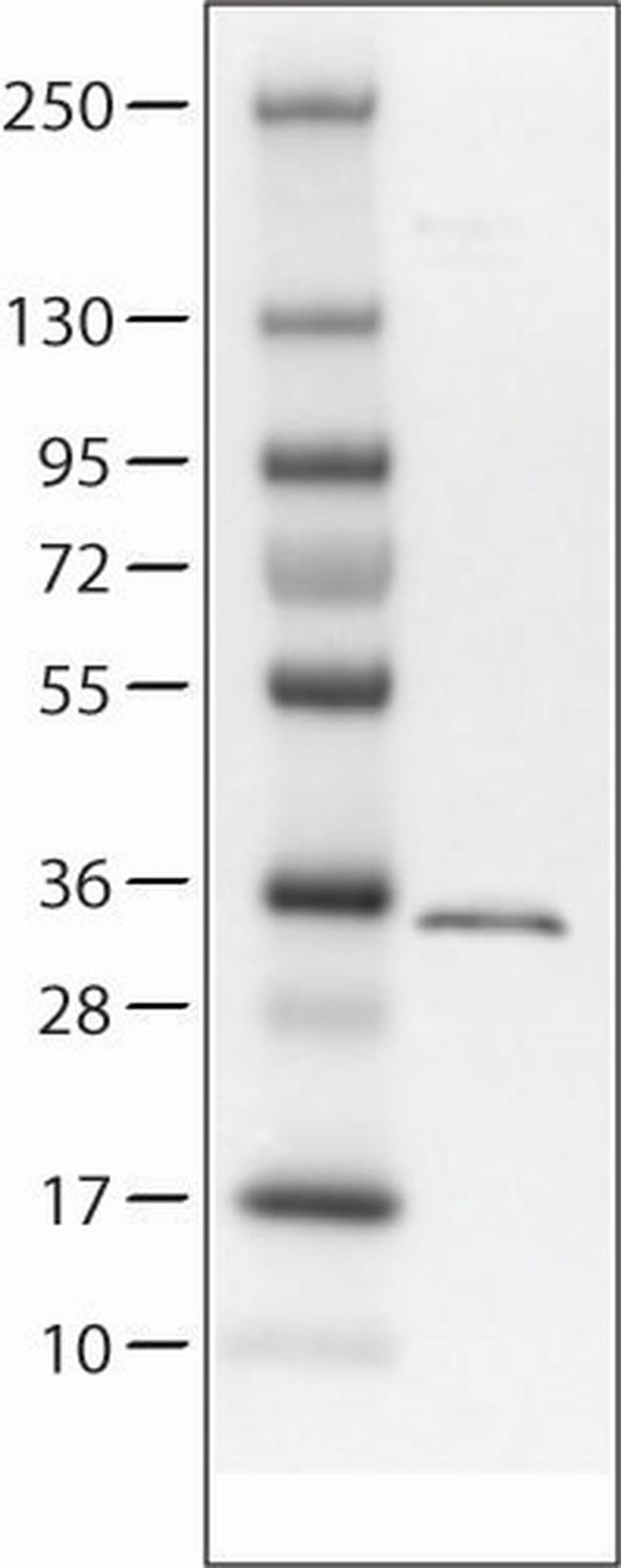 Aquaporin 4 Antibody in Western Blot (WB)