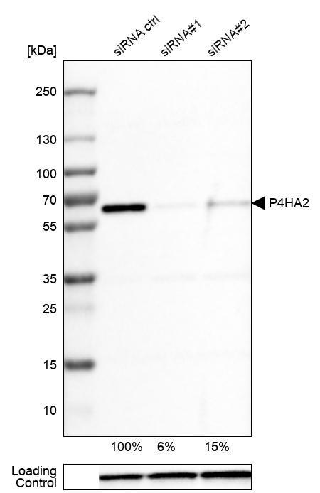 P4HA2 Antibody in KnockDown