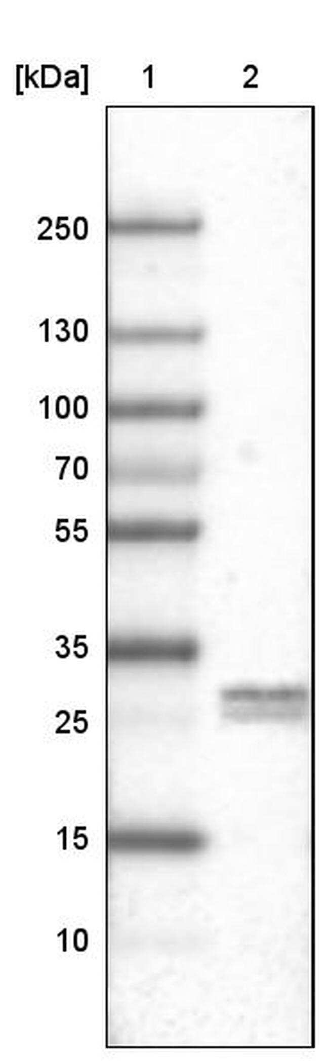 LY6K Antibody in Western Blot (WB)