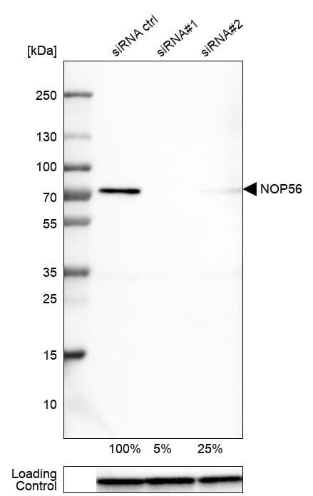 NOP56 Antibody in Knockdown