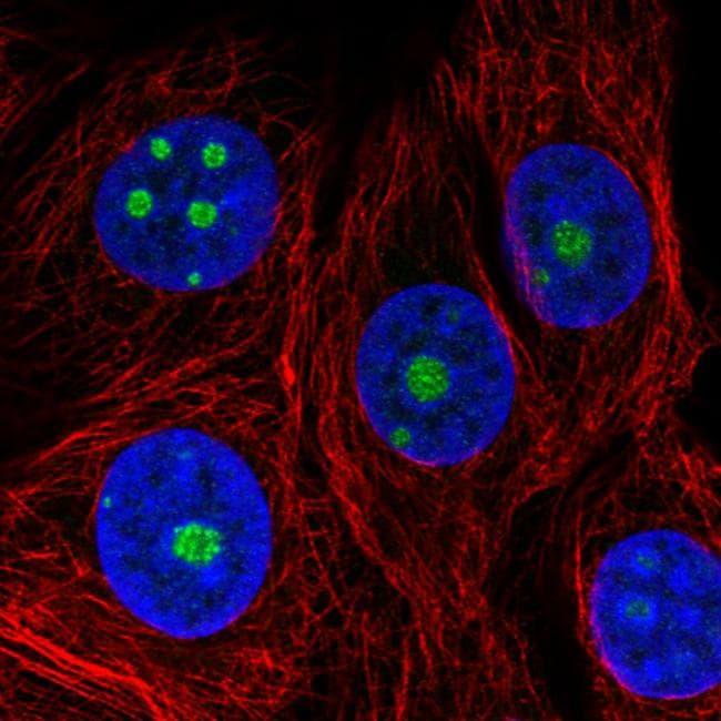 NOP56 Antibody in Immunofluorescence (IF)