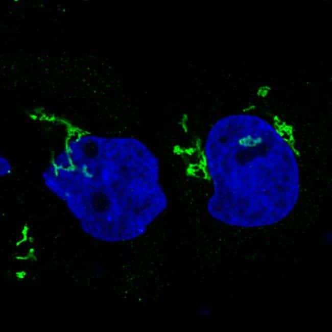 GRASP55 Antibody in Immunofluorescence (IF)